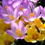 Gelbe und lila Krokusblüten