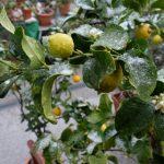 Schnee auf Zitronenstrauch