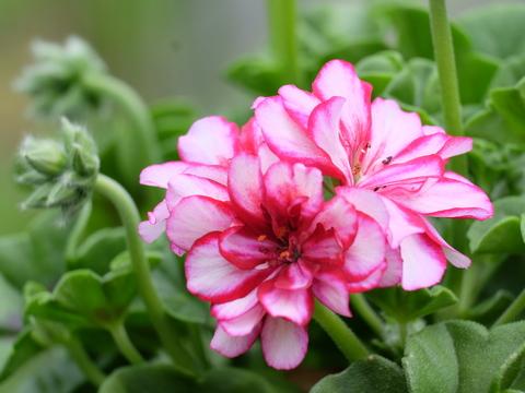 Pflanzenvermehrung durch Stecklinge