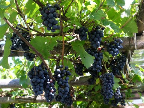 Pergola mit Weintrauben