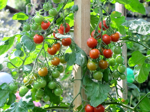 Tipps zu Anbau Pflanzung und Pflege von Tomaten