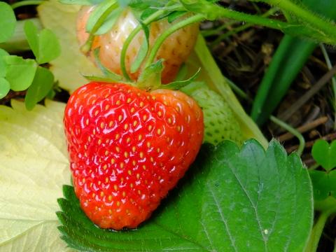 Kultur von Erdbeeren