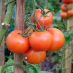 Pflege und Verwendung der Nutzpflanzen