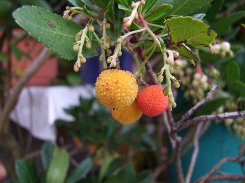 Bilder exotischer und seltener Kübelpflanzen