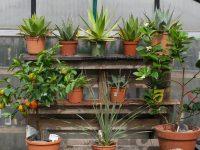 Kübelpflanzen wo überwintern