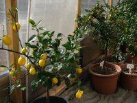 Überwinterung bekannter Kübelpflanzen